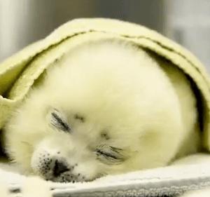 2021年5月17日にNスタで紹介されたアザラシの赤ちゃん