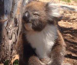 別のコアラに木から落とされ泣き叫ぶコアラ