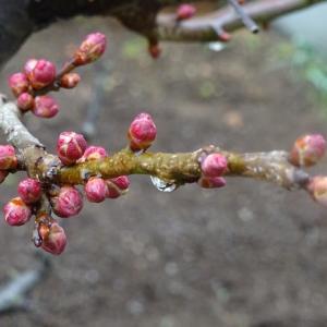 蕾膨らむ 梅