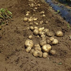 全収穫 ジャガイモ タマネギ