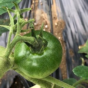 トマトの今