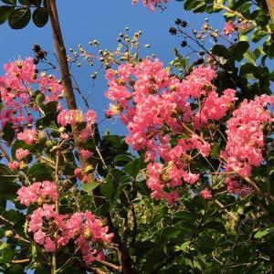 百日紅の花