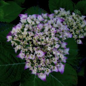 夜の片隅に咲く紫陽花を撮る【フォト雑記】