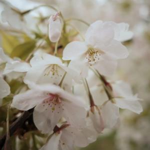 雨に打たれながら、くすんだ桜を見つめる【フォト雑記】