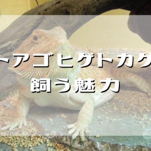 フトアゴヒゲトカゲを飼う魅力