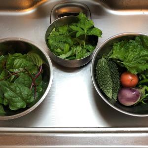 コラボグルメ 頂きキハダマグロ&秘密基地菜園の収穫