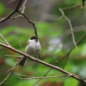 ハシブトガラの幼鳥
