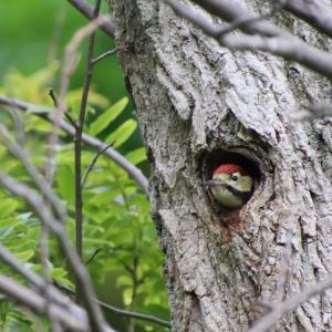 巣穴からアカゲラの幼鳥