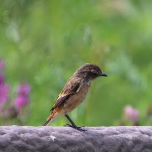 換羽中のノビタキ雌
