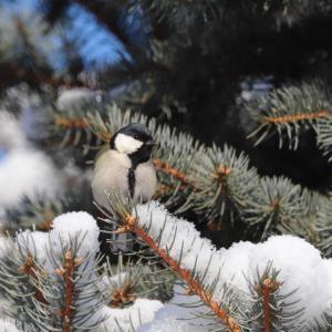 雪景色とシジュウカラ雌