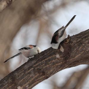 途中から2羽のシマエナガ