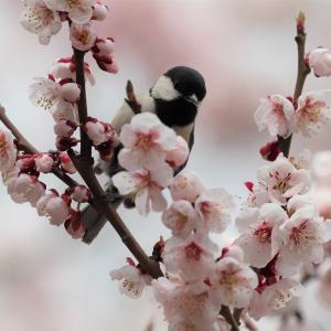 梅の花にシジュウカラ