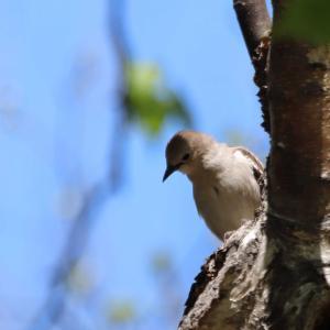 巣の準備に大忙しのコムクドリ雌