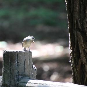 可愛いすぎるヤマガラ幼鳥