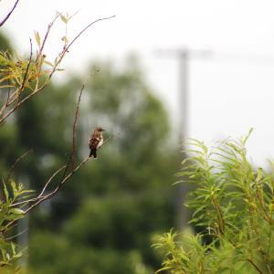 ノビタキの幼鳥