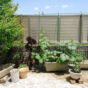 菜園収穫第一弾