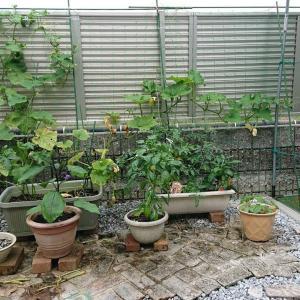 家庭菜園、梅雨に入った今現在