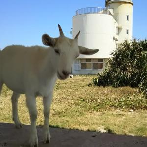 波照間島を一日観光とかわいいヤギさん(沖縄離島の八重山諸島の波照間島)