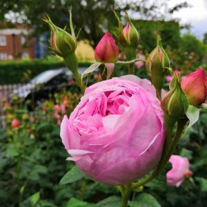 ちょうど一年前のロンドンのリージェンツ・パークのクイーン・メアリーズ・ガーデンズのバラ