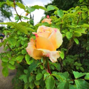 コーンウォールからロンドンに戻りリージェンツ・パークで薔薇をみる【一年前のひと月のイギリス旅・31】