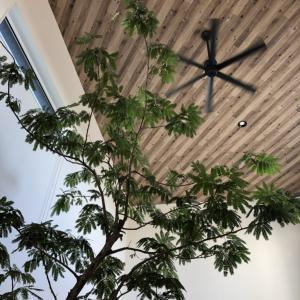 大型観葉植物をリビングに置いて6カ月が経過したのでメリット・デメリットをまとめてみる
