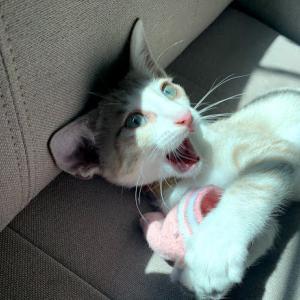 赤ちゃんのように人間の靴下で遊んでいた猫が豹変!ww