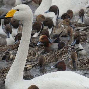 白鳥が観れる!瓢湖(新潟県)と神社とお菓子屋さん