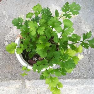 【ひかげ菜園】半日陰で5~6月に種まきできる野菜 まとめ
