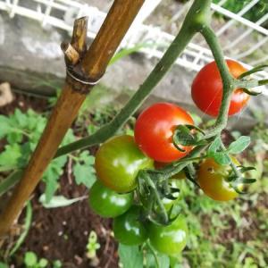 【ひかげ菜園】プチトマトの育てかた(ミニトマト)