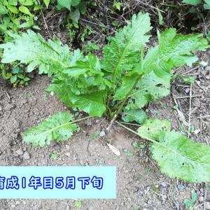 【ひかげ菜園】実体験、山わさびの育て方!発芽率も調べてみました