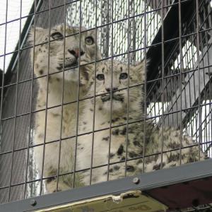 旭山動物園 ユキヒョウの子どもがかわいいの!