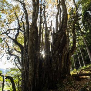 大カツラの木