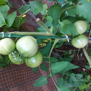 トマトが大きくなってきました