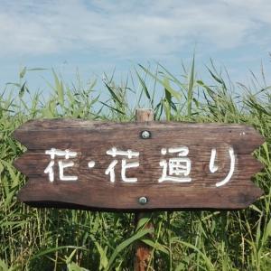 2019北海道車中泊の旅28日目【クッチャロ湖④ 再びのベニヤ原生花園】