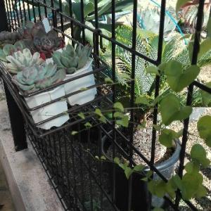 多肉植物「亀甲竜」の野望