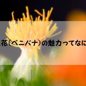 【紅花(ベニバナ)のある生活】花の魅力を詳しく紹介します!