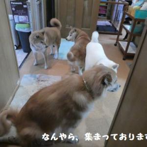 しょうむない犬会議!オヤツは笑顔と交換で・・・ ☆ 大河くんのアイ~ン!