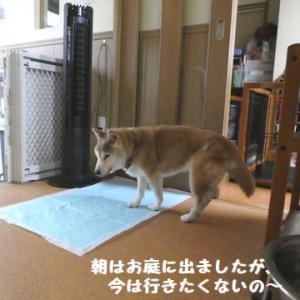柴のオチリって・・・オープンだね! ☆ お外猫の新入りさんに遭遇~