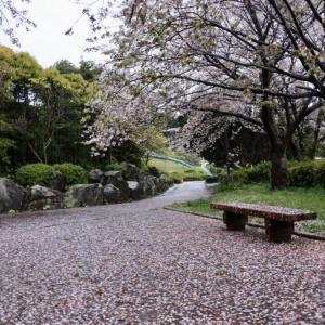 桜 絨毯 夕陽パーク 浜田市 浜田のアラーキー