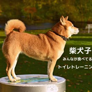 柴犬子犬 柴犬黒 子犬 赤柴 子犬 トイレトレーニング