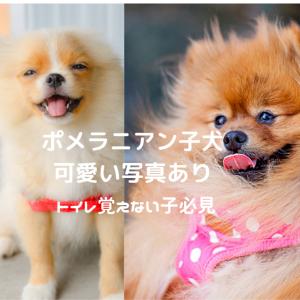 ポメラニアン子犬 ポメラニアン値段 ポメラニアントイレ覚えない子 必見
