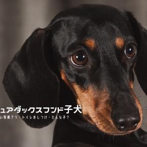 ミニチュアダックス子犬 ダックス子犬 ミニチュアダックスフンド子犬の性格