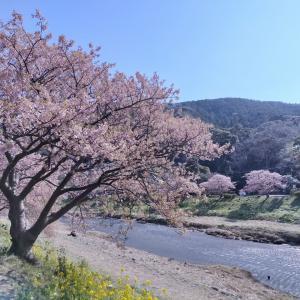 2/20 南伊豆まで桜見ツーリング