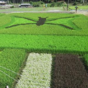 [コピー]熊野市飛鳥町「小又の田んぼアート」