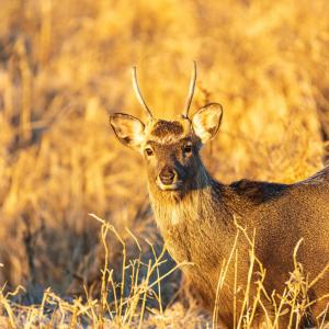 朝日を浴びる若鹿