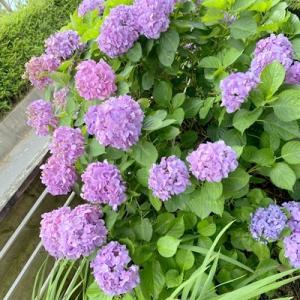 ハートの紫陽花作りに挑戦したよ!