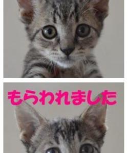 里親募集の猫