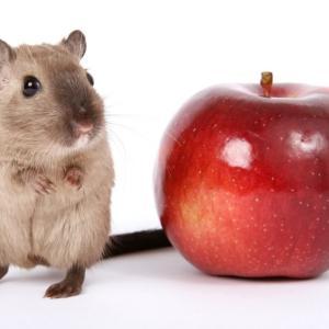 『ボールパイソンの餌マニュアル②』餌の種類・栄養価・拒食・活き餌について考える