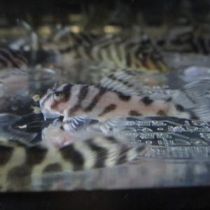キンペコ 孵化から120日