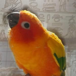 目付き悪いみかんさん🍊  #柑橘戦隊 #コガネメキシコインコ #インコ #インコスタグラム #parrot #parakeet #sunconure #conure #bird #birds #pe